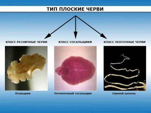 Какие заболевания вызывают плоские черви