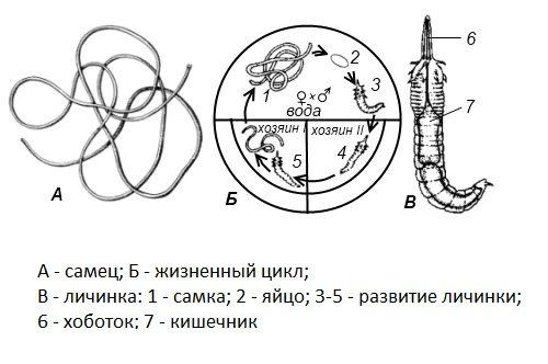 волосатик паразит лечение