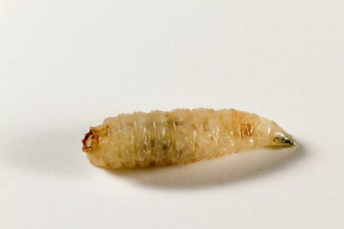 Миниатюра к статье Болезнь вызванная личинками мух — кожный миаз: симптомы и лечение