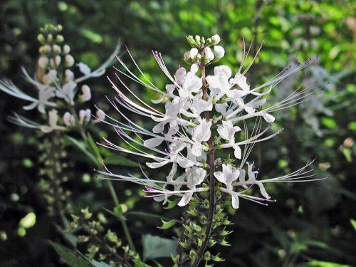 Ортосифон тычиночный (Orthosiphon stamineus)