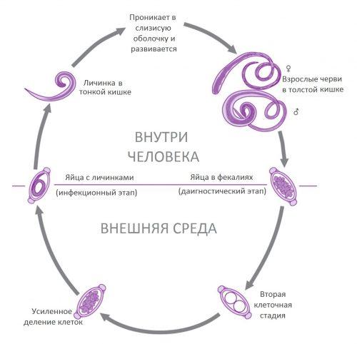 Власоглав человеческий симптомы и лечение заболевания