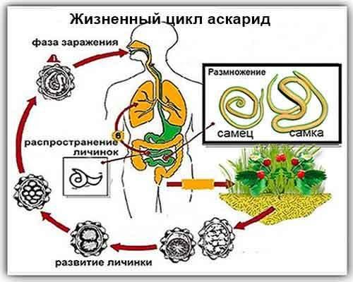 Как человек может заразиться аскаридозом