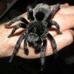 tarantul-black-brazilian