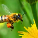 Укус пчелы: как снять отек, первая помощь при укусе пчелы