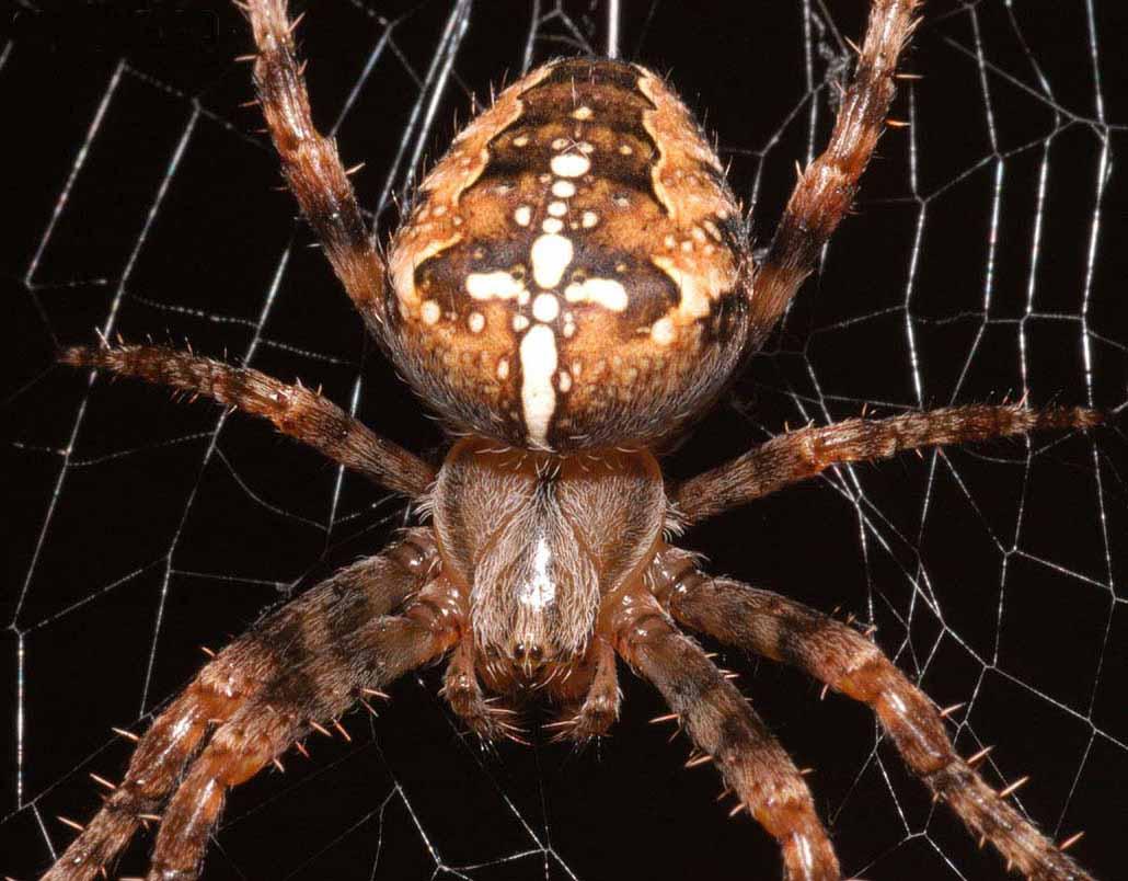 Погребной паук фото заголовку статьи