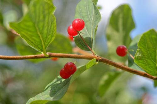 Миниатюра к статье Отравление волчьей ягодой: причины, симптомы, первая помощь и дальнейшее лечение