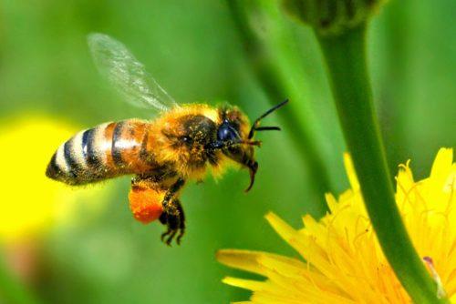 Миниатюра к статье Как и чем снять отек при укусе пчелы: первая помощь