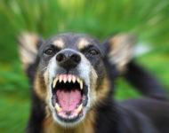 Миниатюра к статье Что делать при укусе собаки, чем лечить и как обработать рану