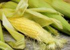 Миниатюра к статье Из сокровищницы народной медицины: кукурузные рыльца для печени