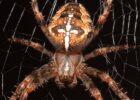 Миниатюра к статье Что делать если укусил паук-крестовик: первая помощь и дальнейшее лечение