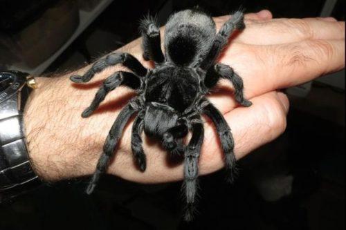 Миниатюра к статье Что делать если укусил тарантул: первая помощь и дальнейшее лечение