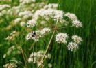 Миниатюра к статье Вех ядовитый: описание и применение растения, симптомы и признаки отравления